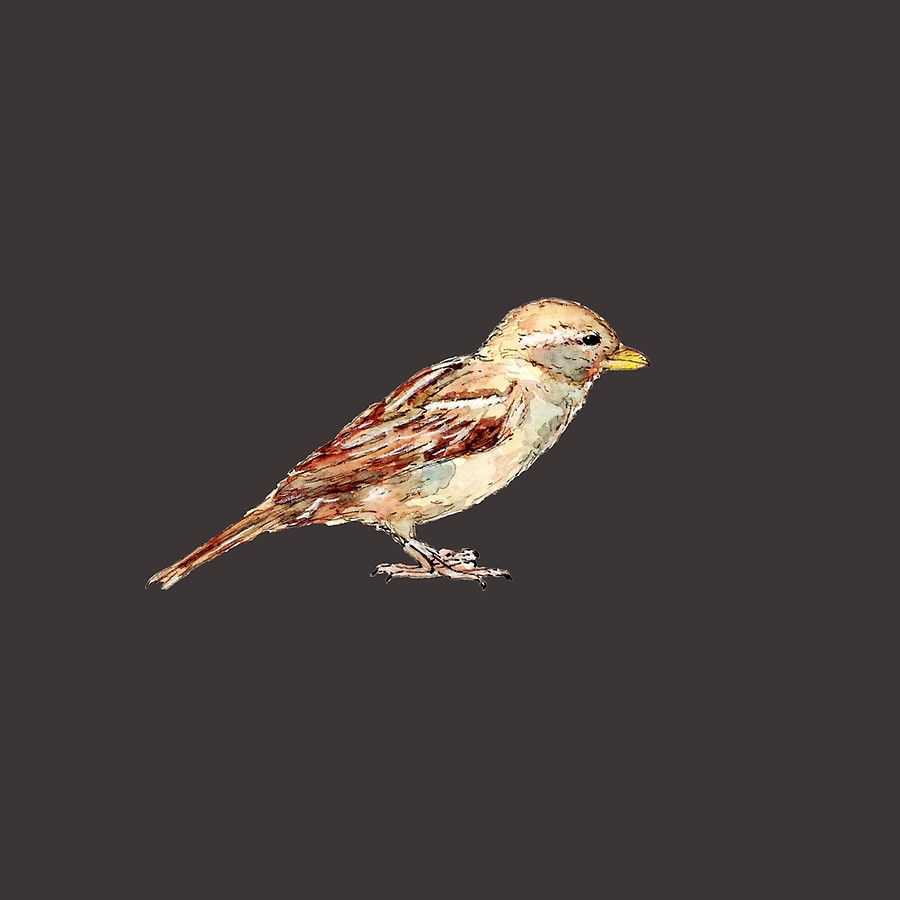 Available on Redbubble - pen and watercolor drawing of a sparrow