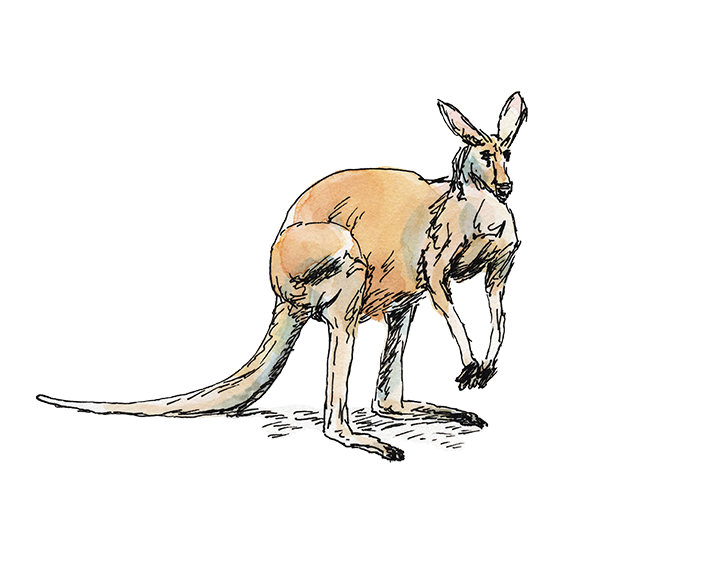 Pen and watercolor kangaroo