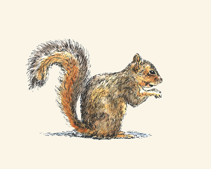 Sitting Squirrel pen and watercolor illustration