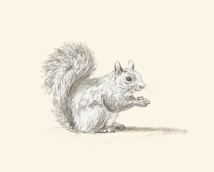 Squirrel's Lost Lunch pencil drawing