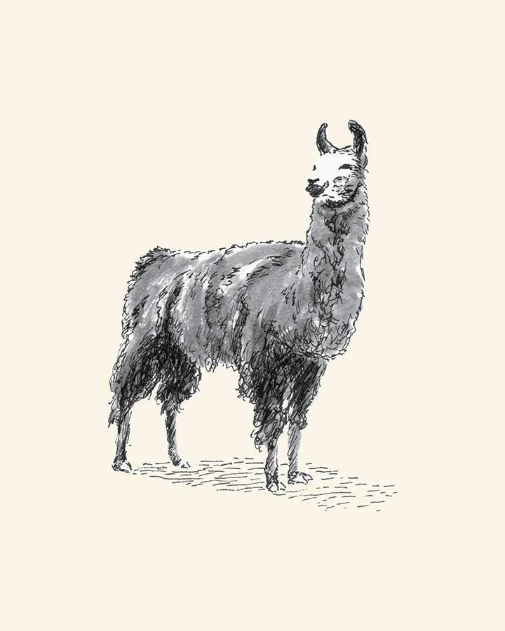 Llama, pen and inkwash drawing