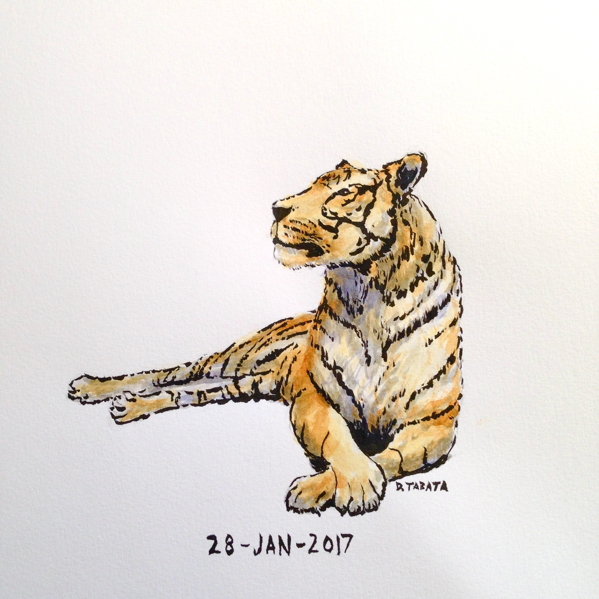 Pen and watercolor drawing of a tiger