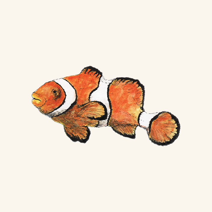 A pen and watercolor drawing of a clownfish