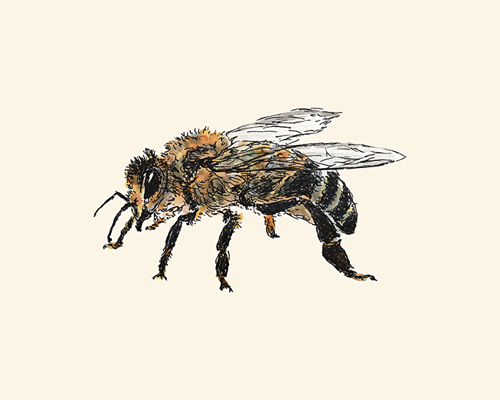 Honey Bee ink and watercolor drawing