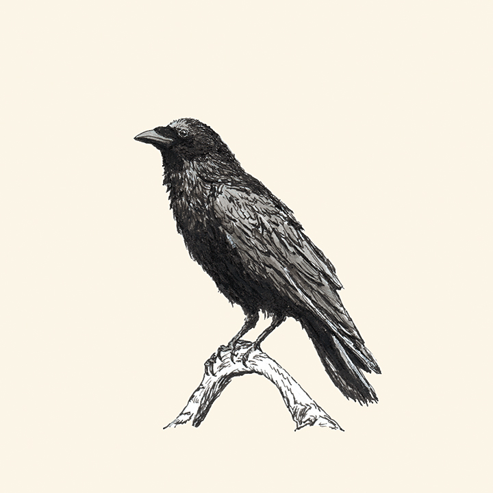 Pen and ink drawing of a raven