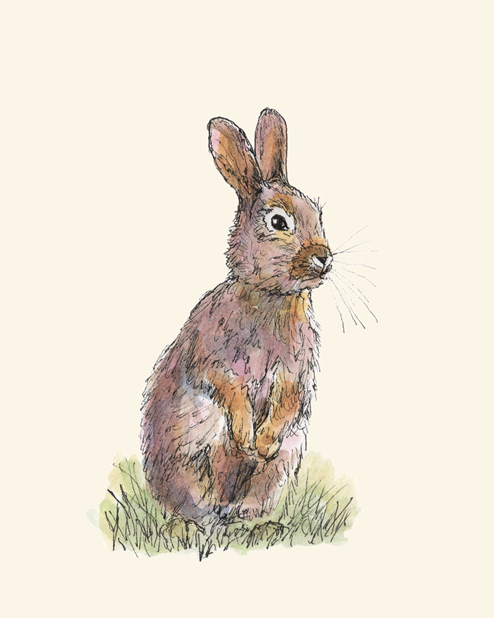Rabbit pen and watercolor drawing